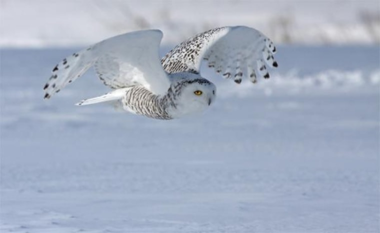 Hedwig's cousin? A snowy owl glides over a northern landscape. Unlike many owls, snowy owls are active during the day.