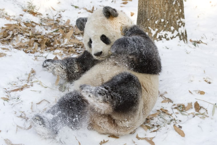 Image: Tian Tian, a giant panda at the Smithsonian's National Zoological Park plays in the snow in Washington