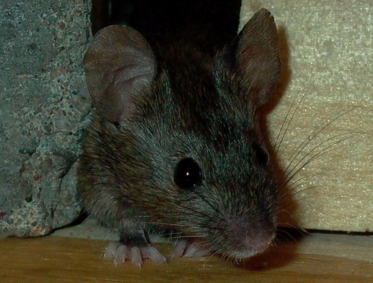 A new hearty mouse has evolved resistance to warfarin.