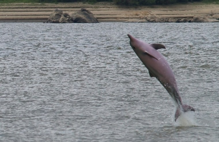The Guiana dolphin (shown here) has the ability to sense electric fields, likely helping the aquatic mammals find prey in their murky habitat.