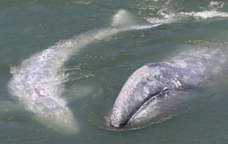 IMAGE: Gray whale and her calf