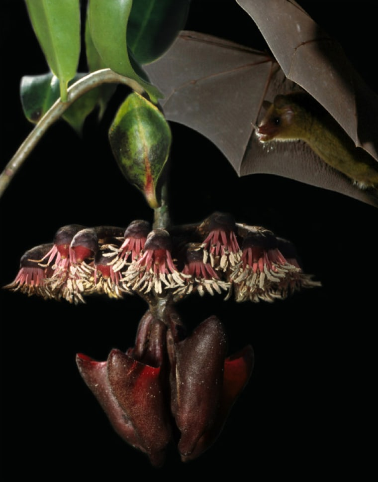 """This photo montage shows the Cuban nectar-feeding bat Monophyllus beside the vine that scientists discovered attracts bats by producing an """"echo beacon"""" with a special leaf. That sonar-reflecting leaf stands upright above the ring of flowers. The cup-like structures that hold the nectar hang below."""