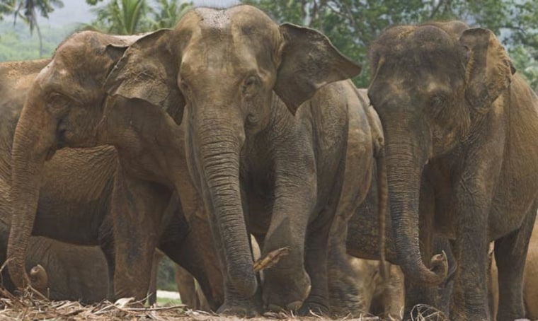 These Asian elephants were photographed in Malaysia's Taman Negara National Park.