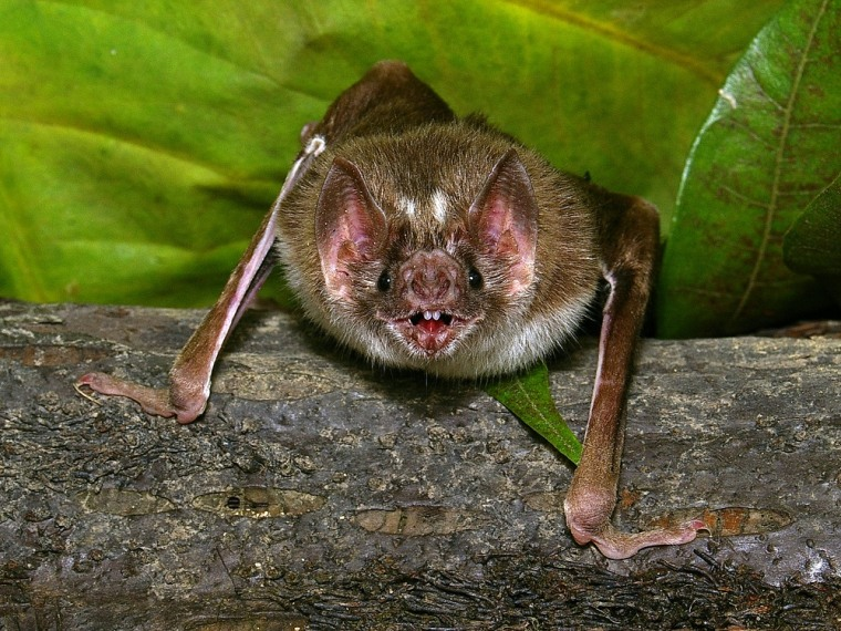 """The vampire bat, Desmodus rotundus, must find a blood meal every one to two days to survive. Razor-sharp teeth and infrared-sensing """"pit organs"""" surrounding its nose help the bat achieve this goal."""