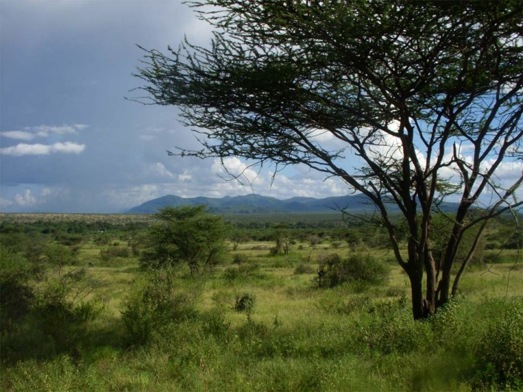 An East African savanna landscape of tree-dotted grassland is shown in this image from Samburu National Reserve in Kenya.A new University of Utah study concludes that savanna was the predominant ecosystem during the evolution of human ancestors and their chimp and gorilla relatives in East Africa.