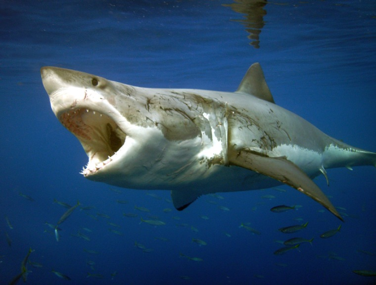 The Shark Shield sends out pulses that can feel like a punch in the nose to a shark.
