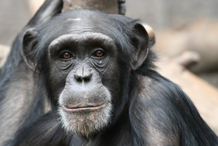Though often considered selfish, chimpanzees have shown altruistic tendences in a recent study by primatologists at Emory University in Atlanta and in other studies.