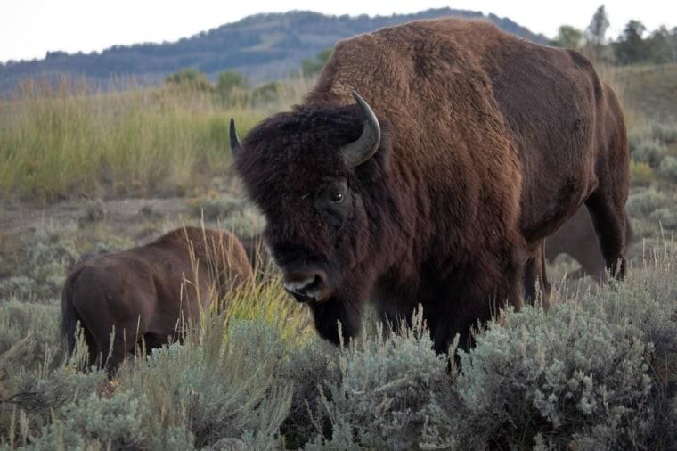Image: Bison