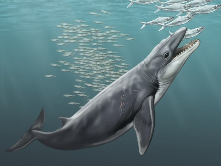 The ancient baleen whale J. hunderi would have fed by sucking in single fish with its large mouth.