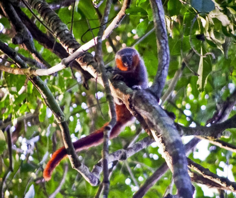 Researchers in an unexplored region of the Amazon discovered what appears to be a new species of Callicebus, or titi, monkey, with unique features on its head and tail.