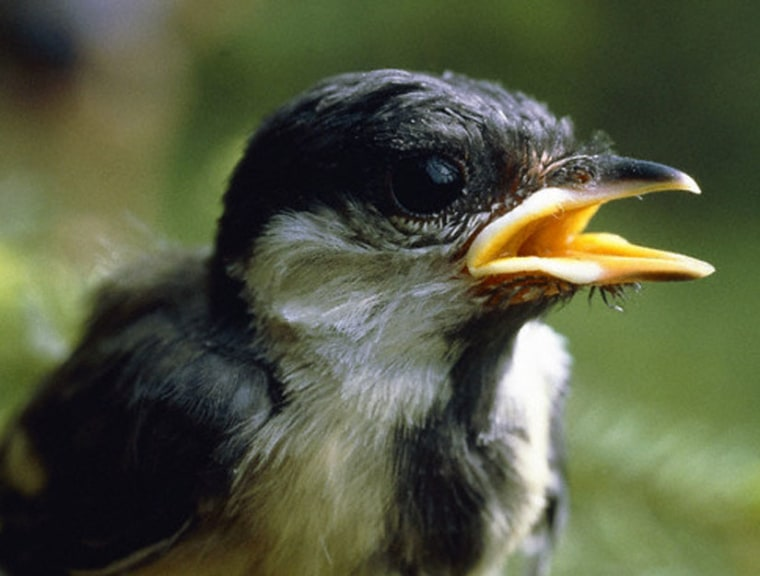 Males of the great tit species sing at a higher frequency in noise-polluted regions.