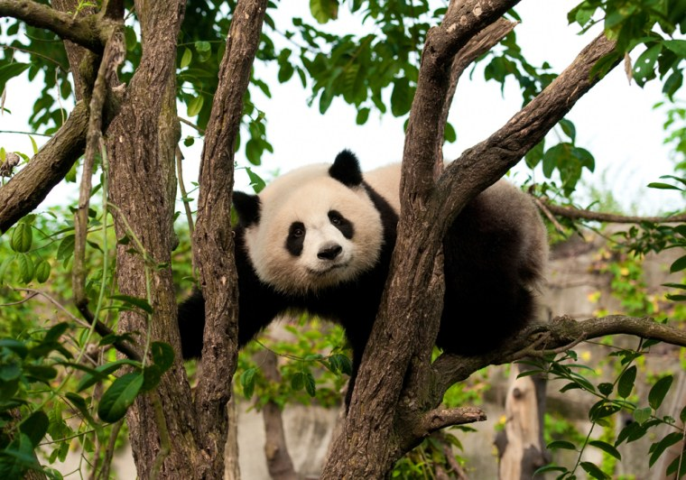 """The giant panda 's scientific name, Ailuropoda melanoleuca, means """"black and white cat-footed animal."""" Pandas can be found in six isolated forest areas in the Sichuan, Gansu and Shaanxi provinces of China. Theirdietmostly consists of bamboo leaves."""