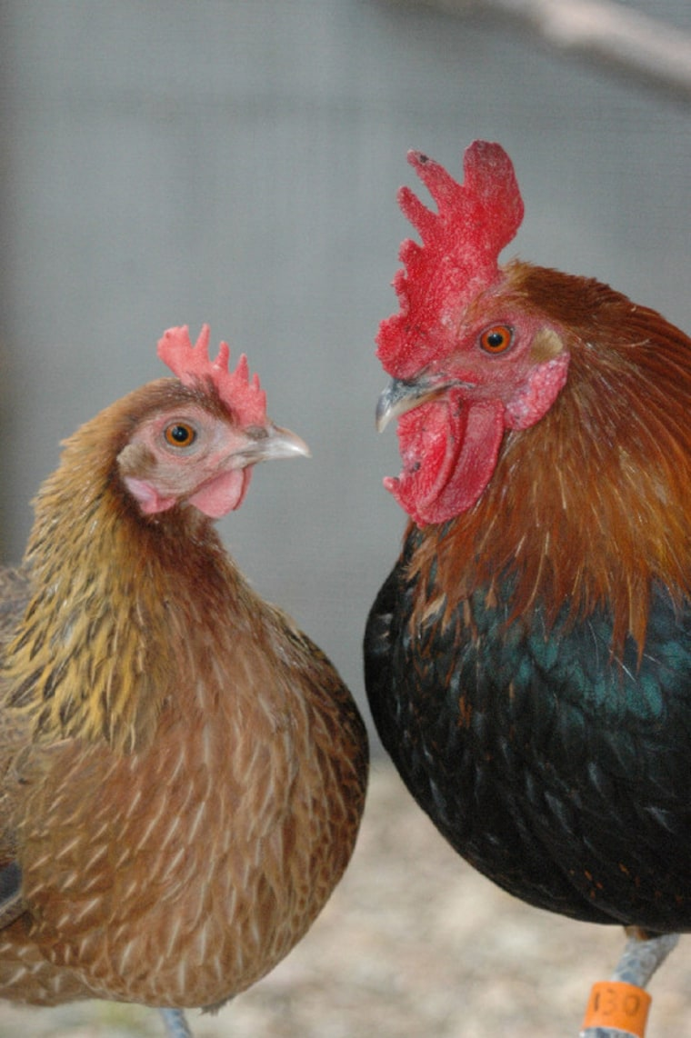 Rather than fight off undesirable suitors, hens have subtler way to reject them: They can eject the low-status roosters' sperm.