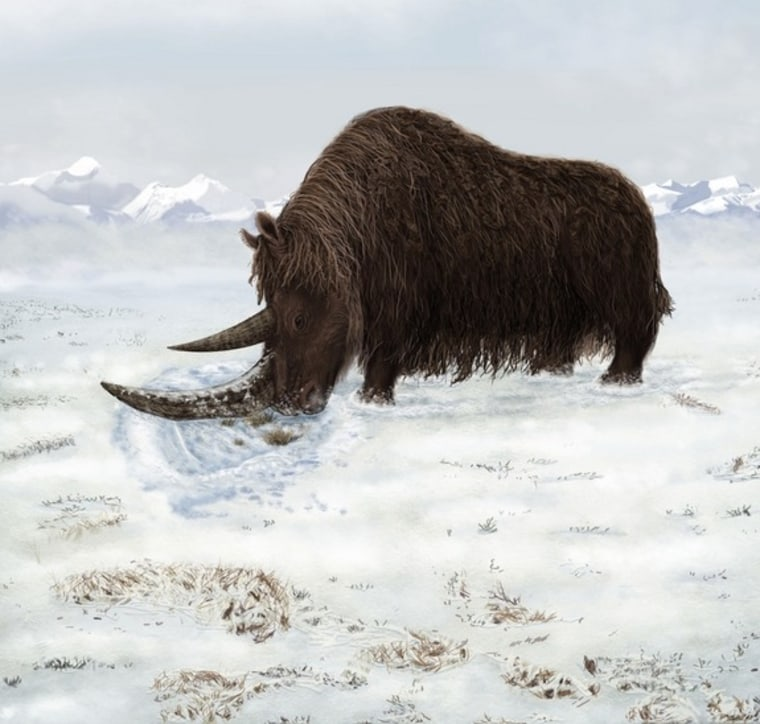 A rhino fossil discovered in 2007 and reported in the Sept. 2 journal Science belonged to a woolly giant with a flat horn for sweeping away snow.