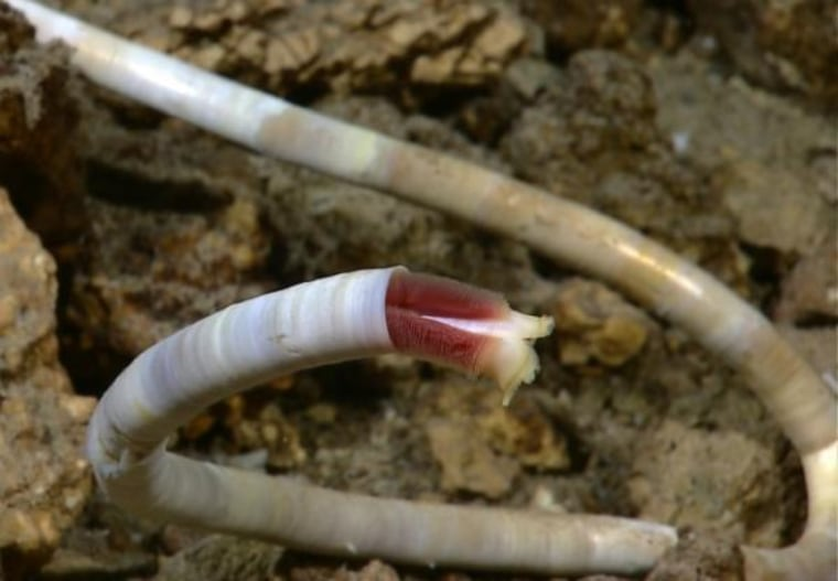 The first live tube worm seen at a hydrothermal vent site in Atlantic waters.