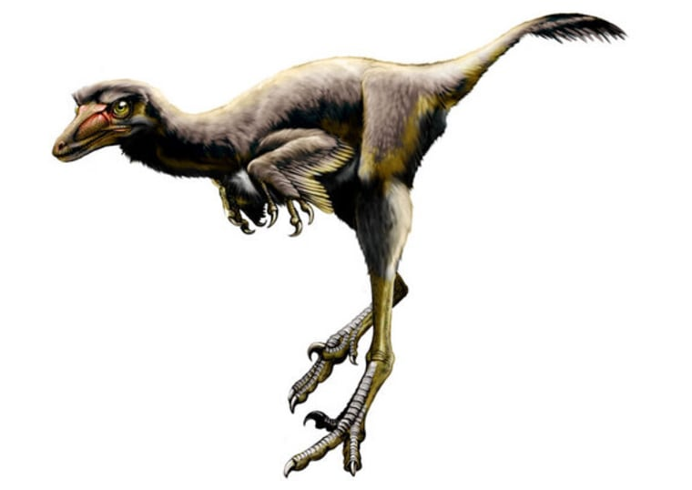 The newly discovered raptor dinosaur, shown in a fleshed-out reconstruction, had an injured curved talon, confirming the giant claw was used to inflict pain.