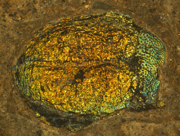Image: Prehistoric beetle