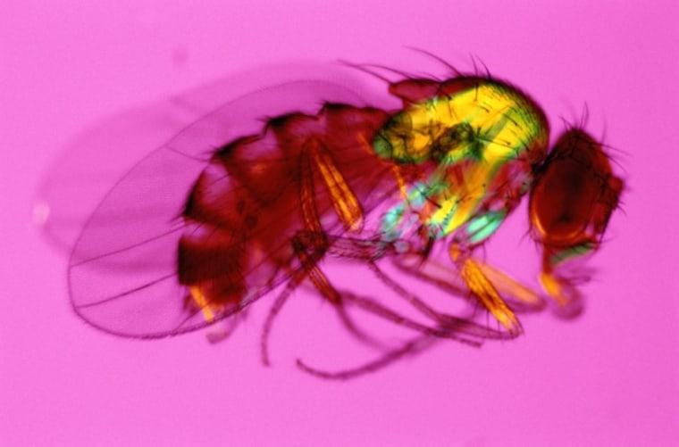Image: Fruit fly