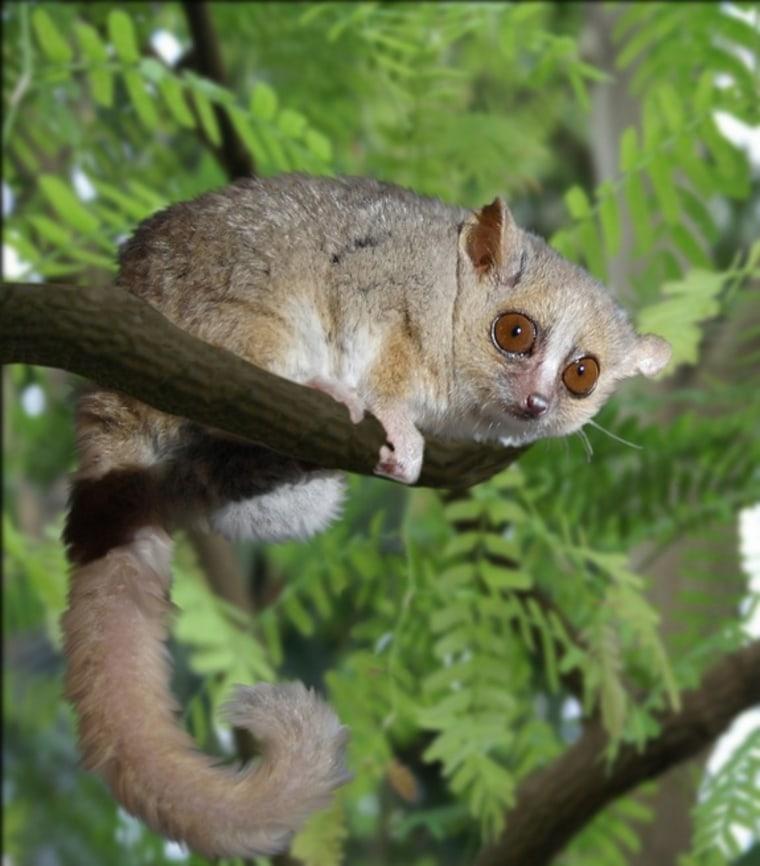 Image: Female lemur