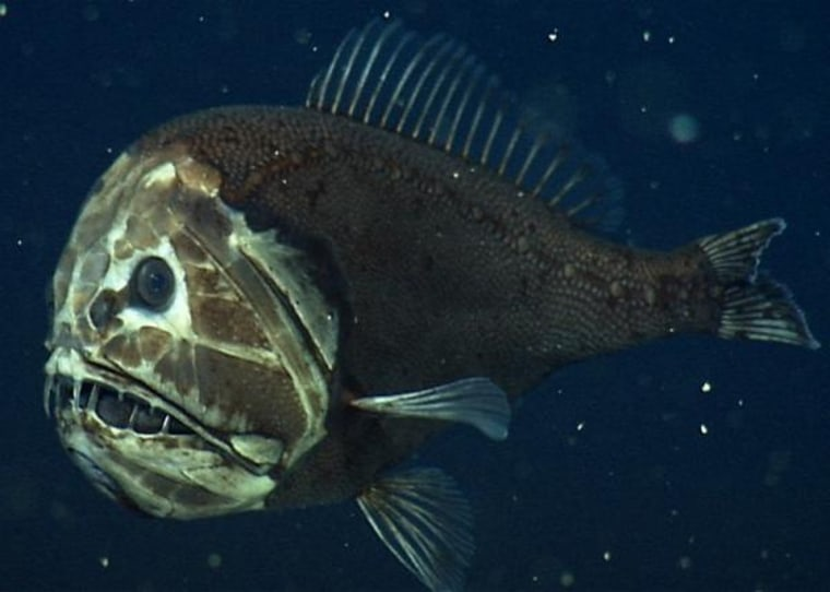 A fangtooth, photographed at about 2,600 feet (800 m.) in California's Monterey Bay. This fish's fierce appearance belies its size — it's only about 5 inches (12 centimeters) long. But thanks to its huge mouth and teeth, a fangtooth can grab and eat fish and squid almost its own size.