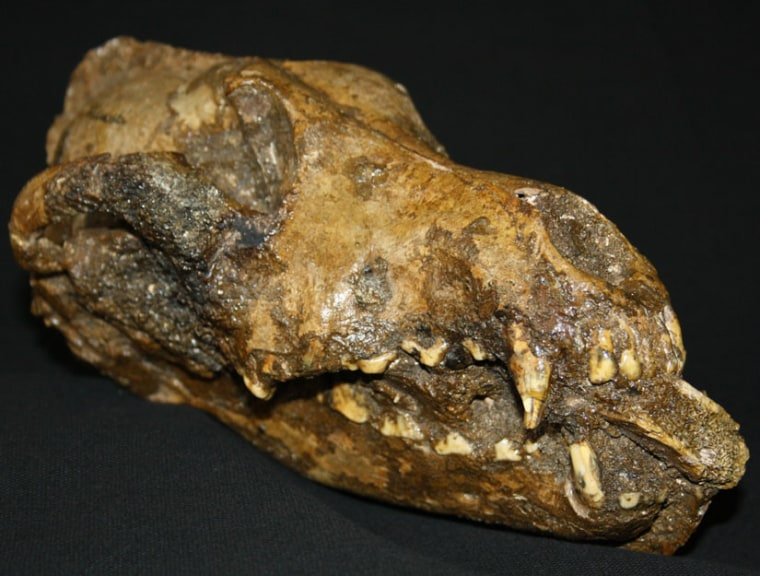 This is thefossilized dog skull discovered in the Czech Republic with the mammoth bone sticking out the front of its jaw.