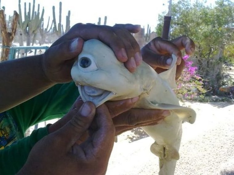 Image: Fetal shark