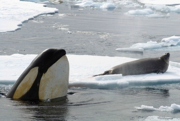 Image: Killer whale hunting for seals