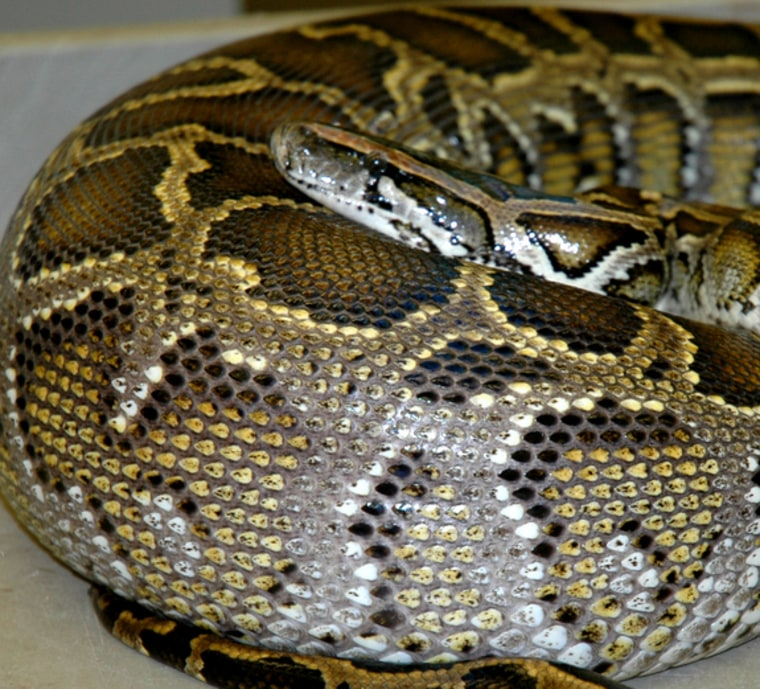 An adult Burmese python curls up and digests a meal of rats.