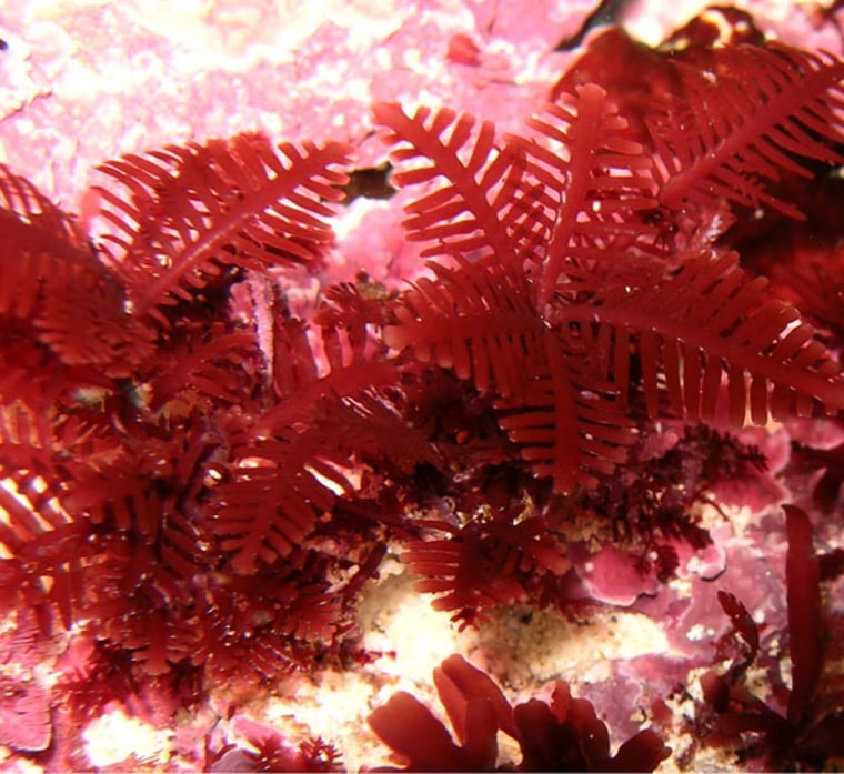 Warming in the oceans of Australia could have dramatic effects on the seaweed  in these waters, pushing their ranges south, and eventually, off the continental shelf.  Above is the Australian seaweed Pterocladia retangularis.
