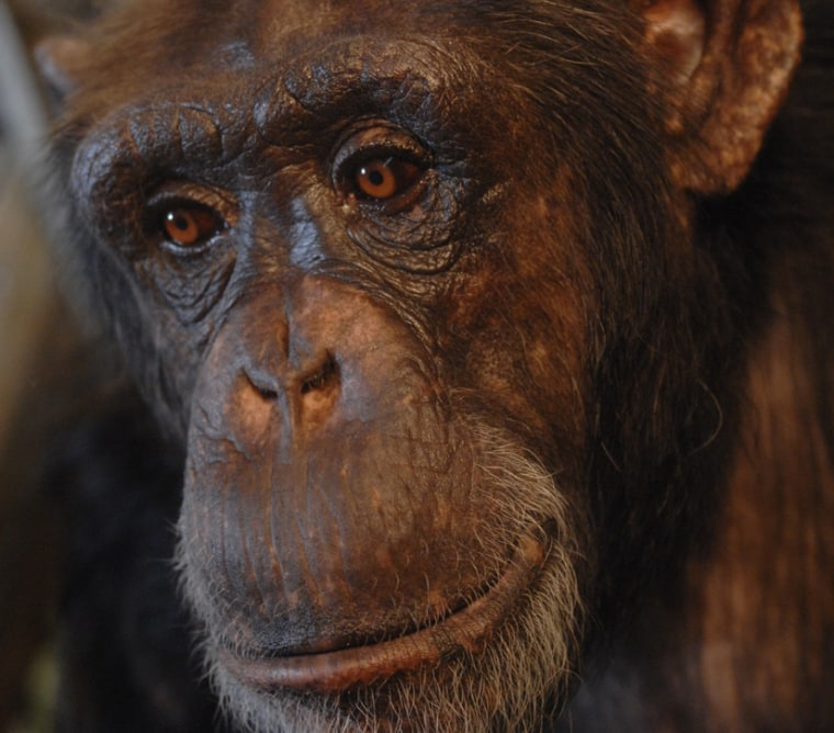 """This 25-year-old chimpanzee named """"Panzee"""" understands more than 130 English language words."""