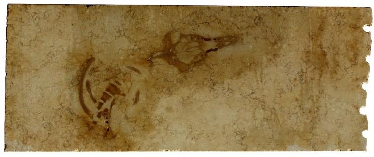 One of the six limestone plates containing the Aegyptocetus tarfa skeleton.
