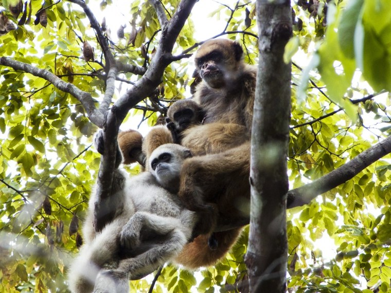 A muriqui monkey mother, infant and juvenile son are pictured in a Brazilian forest.