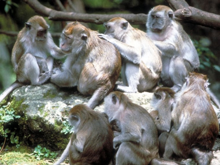 Macaques are an example of an Old World monkey that lives in large, stable multi-male multi-female groups today. Scientists believe that early primates transitioned directly from solitary lives to living in large groups, similar to these monkeys. Other social structures, such as harems, emerged later, their research suggests.