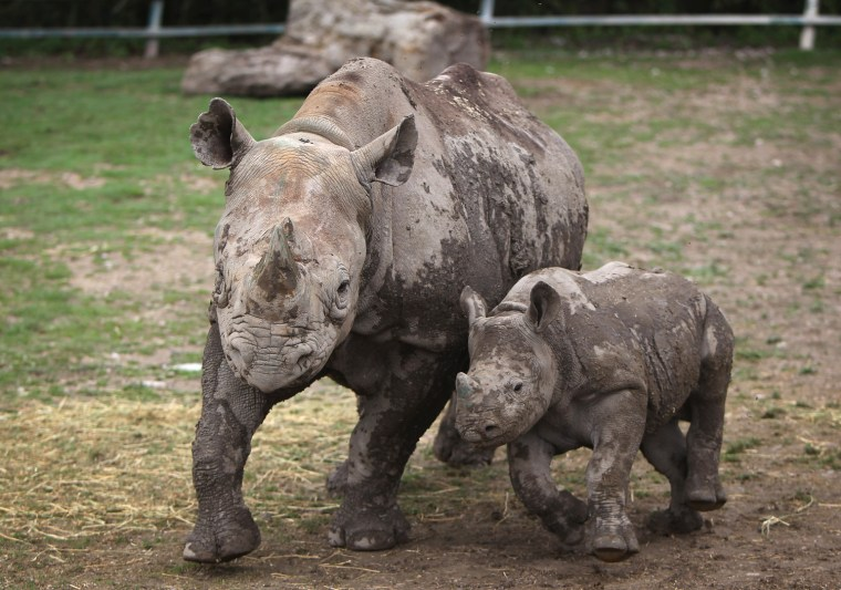 Image: Black rhinos at an animal park in England