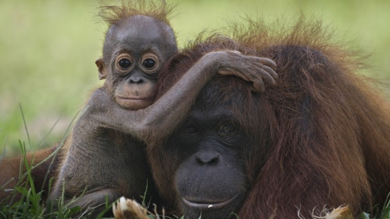 Image:  baby orangutan clings onto its mother at a release site in Tanjung Hanau, Central Kalimantan, Indonesia