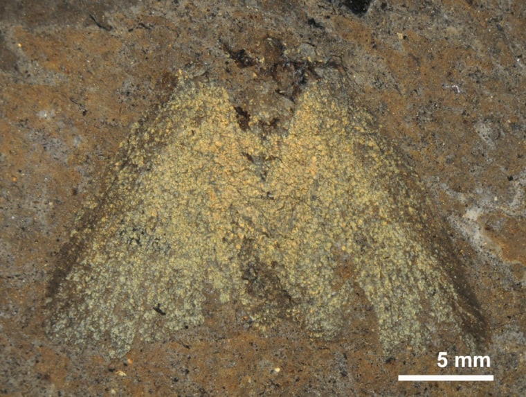 A 47-million-year-old fossil moth from Messel, Germany. The moth is in glycerine, which make its structural colors appear yellow.