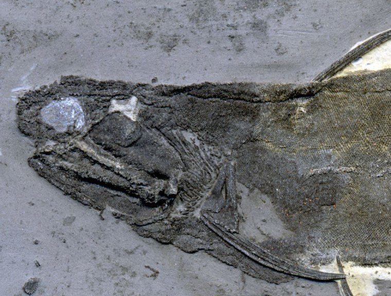 The toothlike lip and cheek scales were found in specimens of ischnacanthid acanthodians similar to this one from the University of Alberta Laboratory for Vertebrate Paleontology.