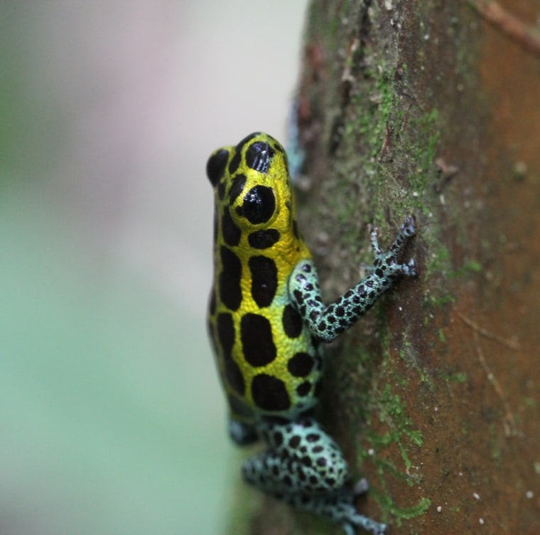 Image: Poison dart frogs
