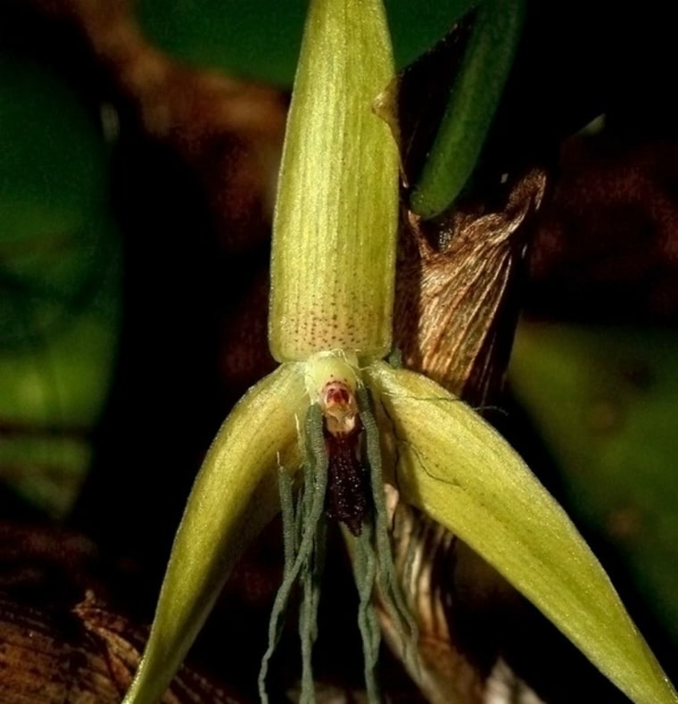 Image: Night-blooming orchid