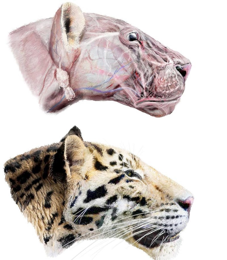 The extinct Longdan tiger (Panthera zdanskyi) was a jaguar-sized tiger that lived in what is now northwestern China more than 2 million years ago. Shown here, an artist's reconstruction of the tiger.