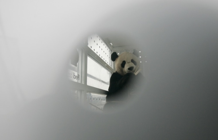 Image: Giant panda Yang Guang is seen eating bamboo branches through a whole of a FedEx container at Chengdu Shuangliu International Airport