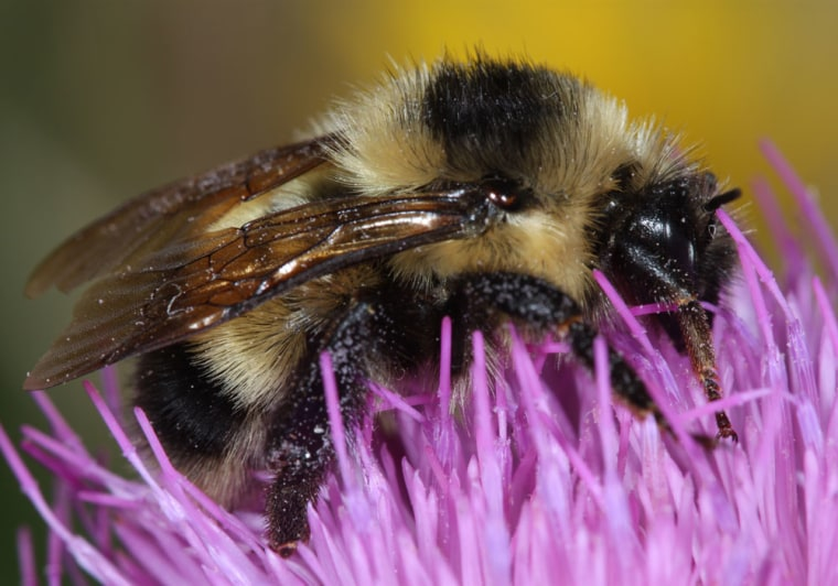 A team of University of California scientists found three samples of the Cockerell's bumblebee species, shown above, in New Mexico.