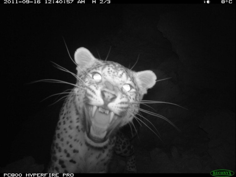 A big Persian leopard was filmed while prowling arounda camera trap's field of view and investigating the camera itself, appearing to threaten it with canines exposed.