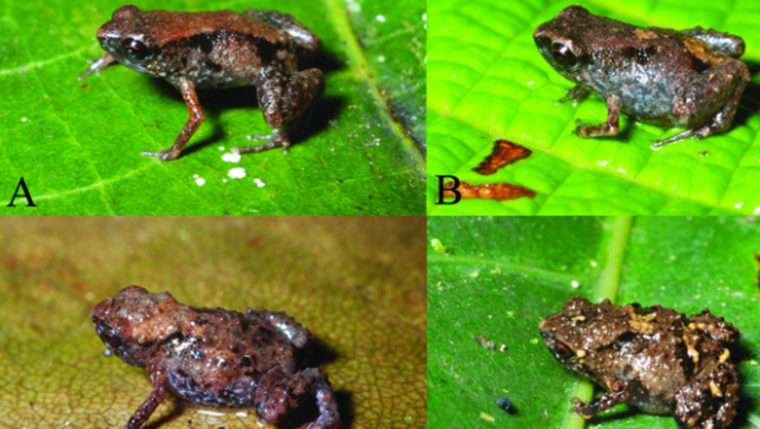 The two new tiny frogs discovered in New Guinea, the tiniest in the world. The top frogs are examples of P. dekotand the lower two are P. verrucosa.