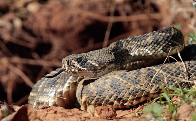 Image: A rattlesnake sits outside his hole during a rattlesnake hunt near Opp, Ala.,