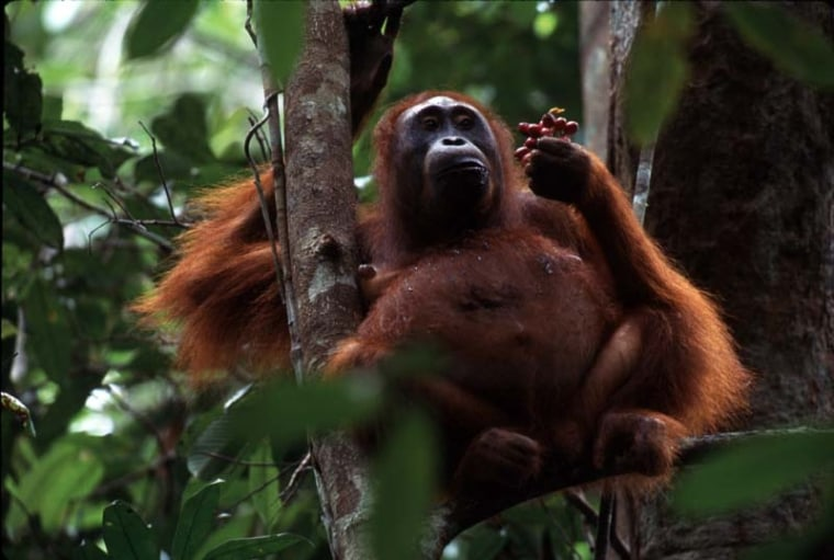 Orangutans in Borneo will eat just about any fruit in the forest. But during hard times when fruit is not bountiful, they find other sources of protein: leaves, bark and their own body-fat reserves and muscle.