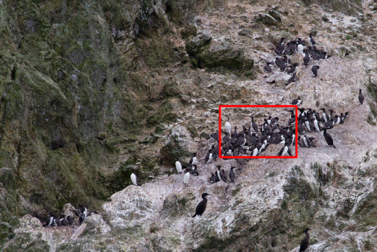 A breeding colony of California Common Murres (Uria aalge californica) on Prince Island of San Miguel Island off southern California, photographed July 12. Ecologists Josh Adams and Jonathan Felis of the USGS Western Ecological Research Center shot high-resolution digital photos from a research vessel and used them to identify nesting and feeding behavior.