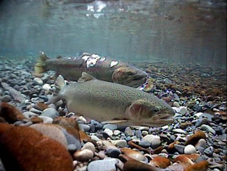 Steelhead trout, part of the salmon family, travel from the ocean to freshwater to spawn.