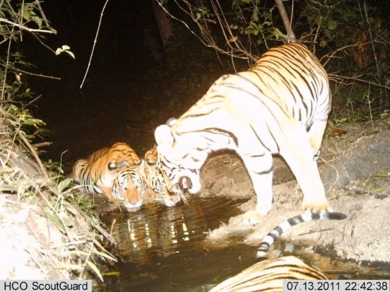 Image: Tigress with cubs