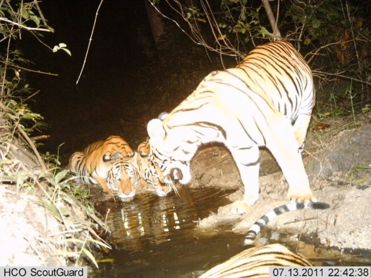 Image: Tigress with cubs